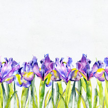 Purple, Summer, Purple, Beautiful, Blossoming Iris Flowers. Watercolor. Illustration