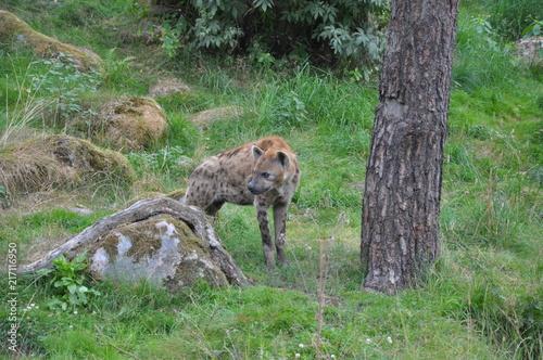 In de dag Hyena Hyena1