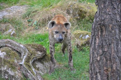 Foto op Plexiglas Hyena Hyena