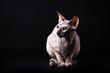 Graceful donskoy cat