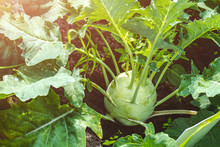 Harvesting Kohlrabi Cabbage