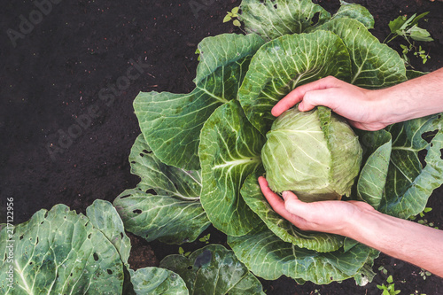 Valokuva Harvesting cabbage. Vegetables, garden. Healthy food. Vitamins
