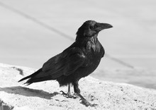 Raven In Nature, Grand Canyon