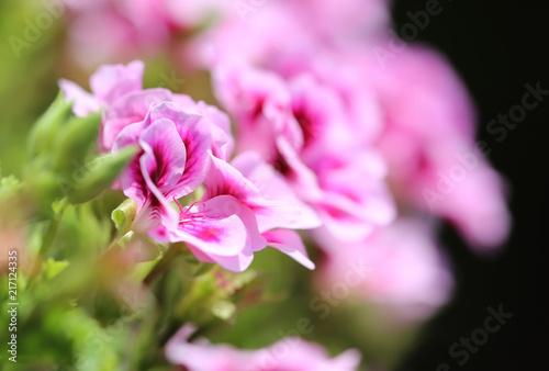 Obraz na plátně Rose geranium flower