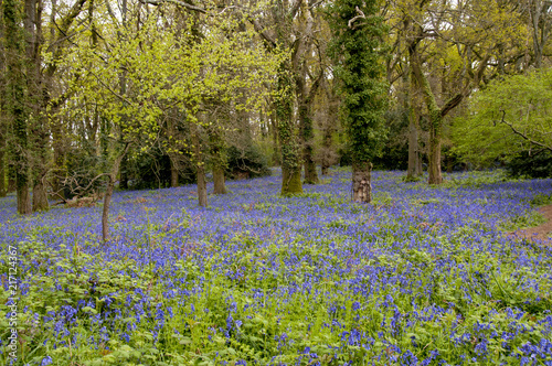 Papiers peints Forets Bluebell wood in spring
