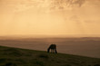 Dartmoor pony silhouetted in the sunset over Dartmoor