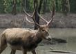 Pere David's deer (Elaphurus davidianus), also known as the milu, is an endangered species of deer native of China