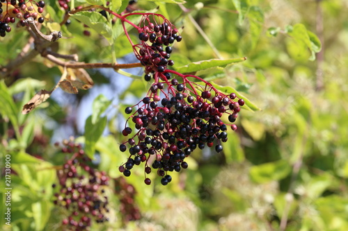 Elderberry in the forest