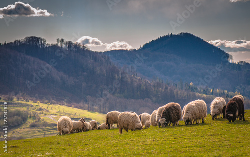 Foto op Canvas Nachtblauw Landscape with sheep in the Carpathians