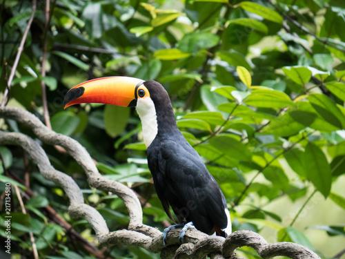 Staande foto Toekan Colorful Toucan Bird