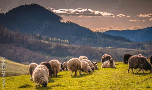 Foto op Aluminium Nachtblauw Landscape with sheep in the Carpathians