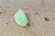 Mariposa Limonera posada en la arena. Gonepteryx rhammni.
