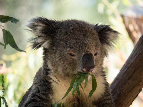 In de dag Koala Koala in Australia
