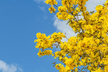 Tabebuia Chrysantha Or Golden Trumpet Flower Or Tabebuia Spectabilis Flower Or Yellow Tabebuia Flower With Blue Sky.