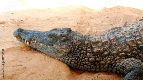 Foto op Plexiglas Krokodil erwachenes krokodil / nilkrokodil makro nahaufnahme