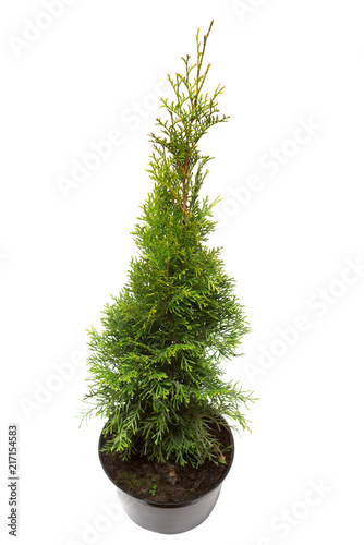 Thuja occidentalis spiralis in pot isolated on white background. Coniferous trees. Flat lay, top view