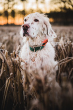 An English Setter Stands In A ...
