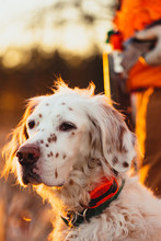 An English Setter And A Hunter...