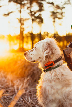 An English Setter And A Hunter Stand In A Field At Dawn