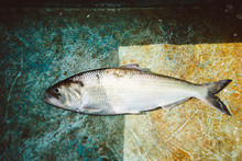 American Shad In A Boat On The Cape Fear River, NC