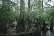 Old Growth Cypress In The Three Sisters Swamp Along The Black River, North Carolina