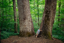 A Boy Stands At The Base Of Two Huge Tulip Poplars In An Old Growth Forest In North Carolina