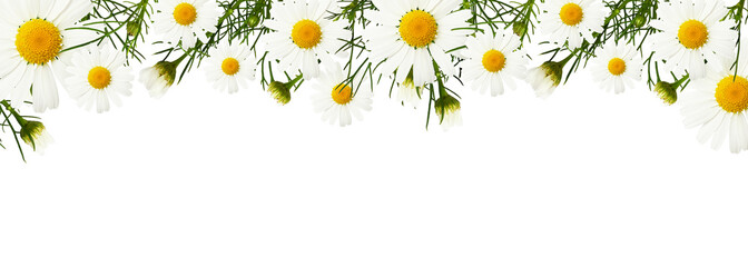 Daisy flowers and buds in a border