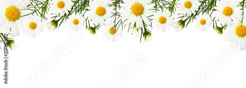 Canvas Print Daisy flowers and buds in a border
