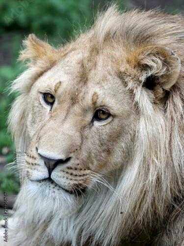 Foto op Plexiglas Leeuw Male lion portrait