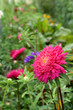 Close-up of a pink aster and a flower bed with other flowers in the background
