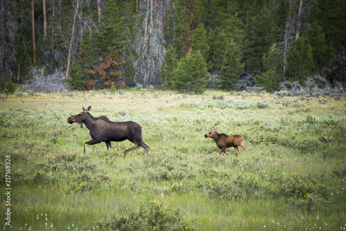 Mother and Baby Moose o the run