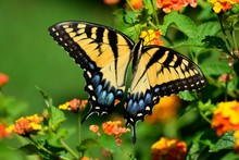 Vibrant Color Tiger Swallowtail Butterfly In A Garden