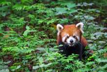 Portrait Of An Adorable Red Panda , Ailurus Fulgens , Fire Fox Surrounded By Plants In Forest