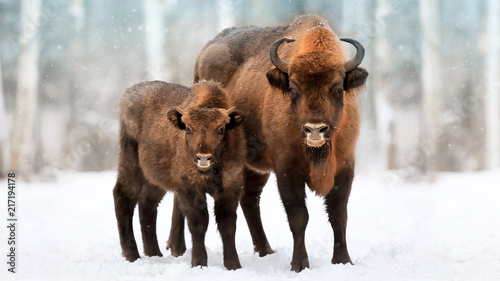 Fényképezés  Family of European bison in a snowy forest