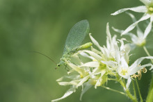 Green Lacewing  On The Flower