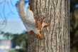 Eurasian red squirrel hanging on a tree in a park upside down, fluffy tail.