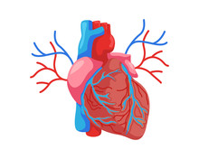 Healthy Heart Internal Human Organ Illustration