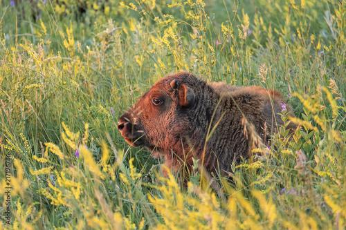 Bison calf at sunrise;  Custer SP;  South Dakota Poster