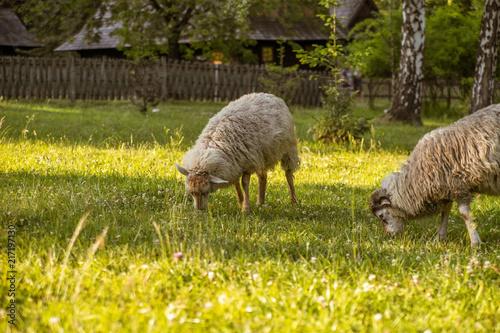 Fotobehang Schapen Sheep grazing in a meadow in the village.