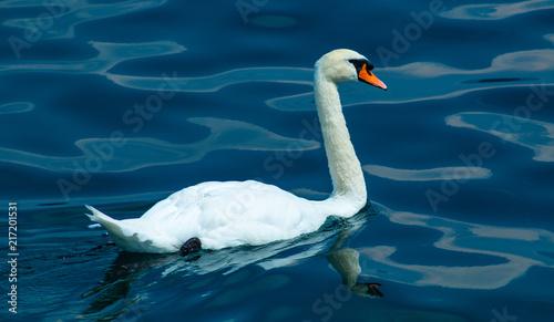 Foto op Aluminium Zwaan Beautiful Single Swan