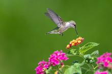 Hummingbird Feeding From Flowers
