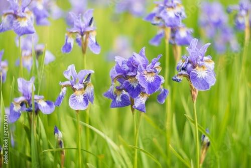 Spoed Foto op Canvas Iris Iris flowers, summer field, outdoor. Background