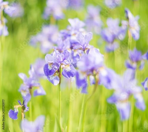 Szare   niebieskie-kwiaty-polne-na-zielonym-tle-traw