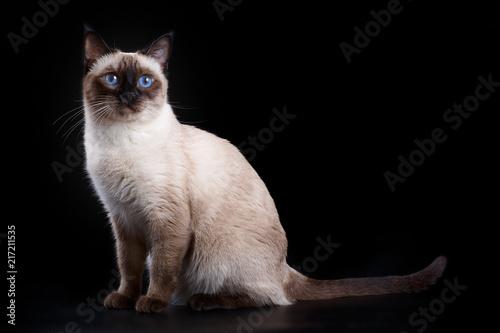 Fotomural Thai cat on a black background