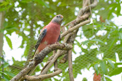 Bourkes Parrot (Neopsephotus bourkii) is Australian pink grass parakeet Wallpaper Mural