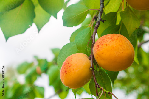 Apricot fruit on a tree branch in a garden, nature background
