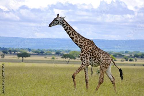 Spoed Foto op Canvas Giraffe giraffe