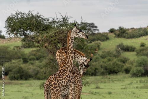 Foto op Plexiglas Leeuw giraffe