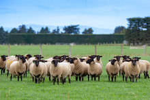 A Flock Of Pregnant Suffolk Ew...