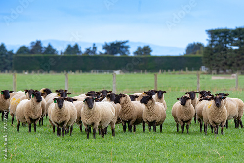 A flock of pregnant suffolk ewes in a green grassy field Canvas Print